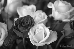 BW Red and White Roses-1007 (Orkakorak) Tags: roses whit red bw