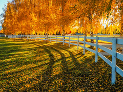 White Fence and Golden Trees, HFF! (Brenda Gooder) Tags: