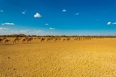 Camel Trek Across Maikona, Marsabit (deepicted) Tags: trek camels desert nomad