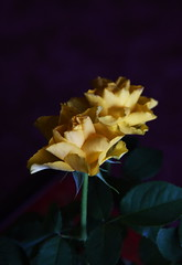 DSC_3186 (PeaTJay) Tags: nikond750 reading lowerearley berkshire macro micro closeups gardens indoors nature flora fauna plants flowers rose roses rosebuds