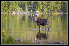 BSP Moose... (DTT67) Tags: moose bsp baxterstatepark maine sandystreampond mammal animals canon 5dmarkiii nature nationalgeographic wildlife