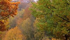 Autumn Colours (abrideu) Tags: abrideu canoneos100d bright colours autumn depthoffield nature herfst outdoor monschau trees plants plant foliage ngc