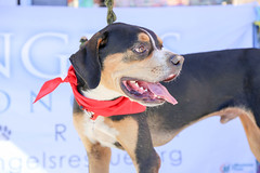 dudleywalker-6058 (angelsrescue) Tags: aau pets angels among us pet rescue alpharetta ga dog love