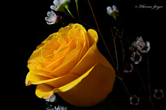 Yellow Rose on Black 0222 Copyrighted (Tjerger) Tags: nature black blackbackground bloom closeup flora flower green macro petals plant portrait rose white winter wisconsin yellow