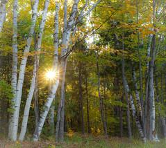 Sunburst Through The Trees (maureen.elliott) Tags: sunlight sun sunburst trees fall autumn forest woodland michigan nature outdoors