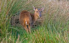 JWL5300  Muntjac.. (jefflack Wildlife&Nature) Tags: muntjac muntjacdeer deer deers herd animals animal mammal moorland wildlife woodlands heathland hedgerows forest countryside nature