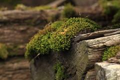 Moha / Moss (bencze82) Tags: canon eos 700d kert garden nvny plant voigtlnder apolanthar 90mm f35 slii moha moss