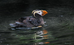 Tufted Puffin  1386 (Ethan.Winning) Tags: washingtonstate tuftedpuffin breedingseason ethanwinning pacificocean