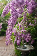 A Drink (wenzday01) Tags: travel flowers woodland washington nikon dof purple sigma lilac wa waterfountain d90 huldaklagerlilacgardens lilacgardens huldaklager nikond90 50mmf28exdgmacro