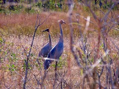 Beauty of God's Creations - World of Birds – Cranes - By Amgad Ellia 07 (Amgad Ellia) Tags: world beauty birds by cranes gods amgad ellia creations –