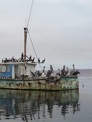 Crew of Ghost ship (Mulligan Stu) Tags: peru pelican cormorant ballestasislands ghostship islasballestas