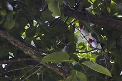 Red-Crested Cardinals (briankmoulton) Tags: oahu kualoaregionalpark