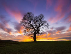 The Last Tree (Semi-detached) Tags: wood pink blue winter sunset england sky orange tree silhouette yellow clouds last landscape fire oak nikon warm alone angle natural bright wide 1635