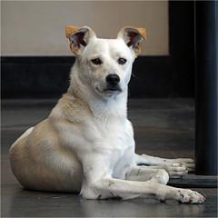 dog brown white ears alert