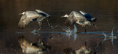 accelerating to takeoff  (Explored) (Eric Gofreed) Tags: newmexico crane sandhillcrane basquedelapache