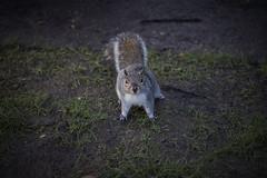HEI (kaarsnes) Tags: london canon squirrel stpauls cutie 40mm 60d