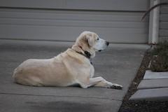 IMG_5897 (powersmatthew17) Tags: dog cute animal animals lab labrador yellowlab sitting dusk chillin mybeautifulbabyboy