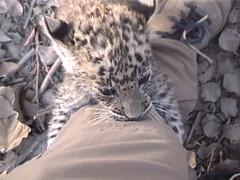Baby Leopard Tries to Climb Karen