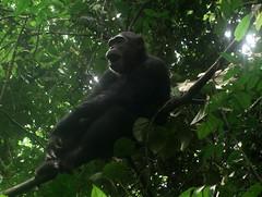 Chimp Yawning