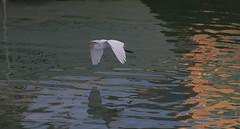 Evening Flight of the Egret (Denzil D) Tags: birds florida canals egret floridakeys lowlightphoto flyingegret canoneosrebelt2i oceanwaterways oceancanals