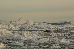 Braving Mountains Of Ice (Derbyshire Harrier) Tags: evening fisherman arctic greenland inuit iceberg fishingboats midnightsun 2014 ilulissat naturetrek diskobay bergybits oceanwideexpeditions svrembrandtvanrijn