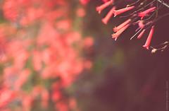 2015.0084 (Adriano Aquino) Tags: flowers red naturaleza flower nature soft peace natureza flor smooth paz vermelho honey suave gentileza gentleness candor candour suavidade mildness suavity