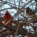 Northern Cardinal and Dark-eyed Junco