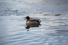 Cool Water (Simon J. Mat) Tags: ice water birds frozen duck wildlife subject northwich pickmere