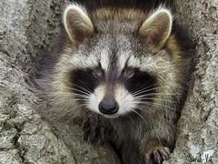 (Sarah-Vie) Tags: raton racoon img ratonlaveur 9292 bbratonlaveur