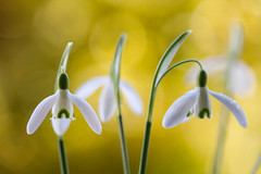 Galanthus (Mandy Disher) Tags: winter white flower nature floral beauty yellow flora fresh snowdrop galanthus