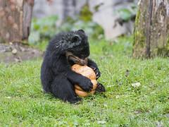 Ojo and the pumpkin (Tambako the Jaguar) Tags: bear baby playing black cute male halloween grass pumpkin fun zoo cub switzerland holding nikon sitting young zrich d4 spectacledbear andeanbear