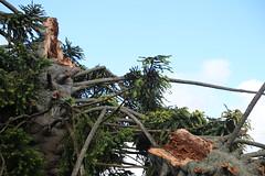 tree damage bunya pine uniting church daylesford_0032 (gervo1865_2 - LJ Gervasoni) Tags: wild storm heritage history weather 1 march windy australia down mini victoria micro damage burst tornado daylesford 2015 bursts drafts photographerljgervasoni