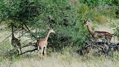 Gerenuk (Litocranius walleri) (Susan Roehl) Tags: ngc npc specanimal