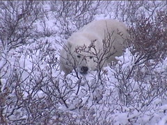 Polar Bear in Thickets