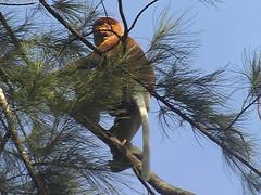 Proboscis In the Canopy