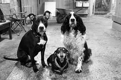 Three best friends (alindinlarsson) Tags: dog white black cute eye dogs nose eyes sweden stall ears hund ear sverige paws stable nos bestfriends vitt svart hundar ga vit bergslagen sta ron gon ra tassar bstavnner