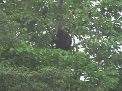 Orangutan on the Kinabatagan River