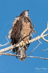 Juvenile Bald Eagle gives a big yawn
