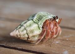 Hermit crab (Hammerhead27) Tags: sea beach island shell crab crustacean maldives hermit gan