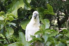 cooks-river-120716-023 (alison.klein) Tags: cockatoo australianbirds cooksriver