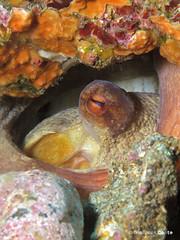 1st octopus at home (gio087) Tags: canon underwater m varazze 25 e octopus vulgaris polpo patate savona g16 secca techdive