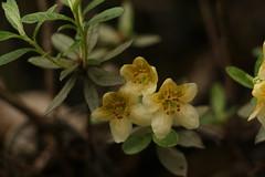 Rhododendron lepidotum Wallich ex G. Don (1) (siddarth.machado) Tags: east rhododendron lachen northsikkim himalayanflora