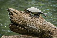 Look Ma! I'm swimming! (tdjohns2) Tags: turtle lake river amphibian reptile basking sunning stretching