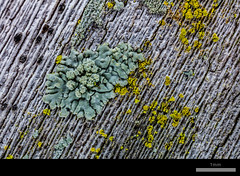 Gold Dust Lichen on Palm (Boy of the Forest) Tags: environment lichens lichen symbiosis symbiotic symbioticorganism northamerica unitedstatesofamerica america us unitedstates usa florida fl sarasota srq celeryfields wetland nissinmf18macroringflash macroflash mf18 nissin nissinmf18 canon canon5dsr 50megapixels 50mp 5dsr dsr mpe65 mpe65mmf2815x plants botanical botany plant plantae vegetation palm palmtree sabalpalmetto sabal crustose chrysothrix chrysothrixsp chrysothrixcandelaris golddustlichen lime neon yellow red orange