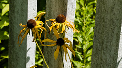White Picket Fence (ToddP99z) Tags: flower fence lincoln ma massachusetts whitepicketfence blackeyedsusan shadow shados nature