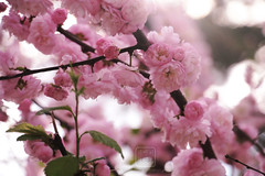 () Tags: pink light bright colors fade flowers sakura cerry blossom sunlight sun sunset evening branches tender delicate park nature macro