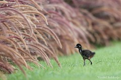 White-breasted Waterhen Chick (Vinchel) Tags: singapore marina barrage outdoor nature wildlife animal bird canon 5dsr 400mm grass plant