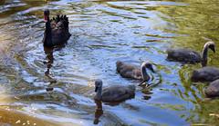 Ready to Attack... if Need Be (Jocey K) Tags: newzealand christchurch reflections spring blackswan cygents traviswetlands blackswancygnets