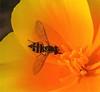 Flowerfly in Calif. Poppy, Prunedale, CA 07-28-16 (Kent Van Vuren) Tags: flowerfly