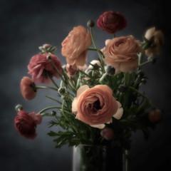 Ranuculus Squared (Anne Worner) Tags: ranunculaceae ranunculus blossom plant bloom blooming vase stilllife floraldecoration anneworner